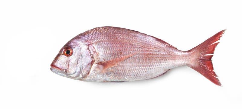 海鲷–'在白色背景的Dentice的 库存图片
