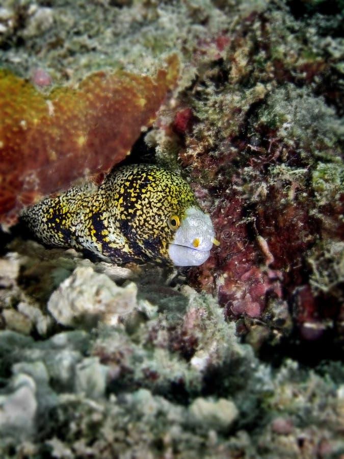 海鳗雪花 库存图片