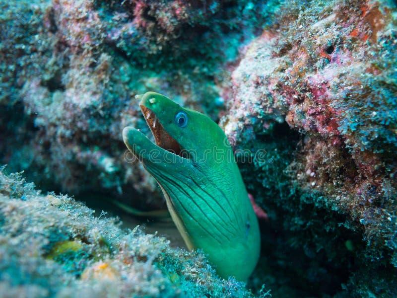 海鳝, cortez,下加利福尼亚海  图库摄影