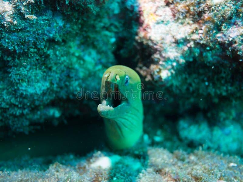 海鳝, cortez,下加利福尼亚海  免版税库存图片
