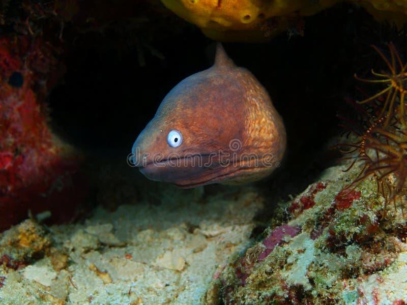 海鳝 免版税库存图片