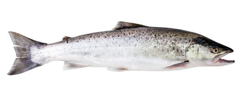 海鳟鱼 免版税库存图片