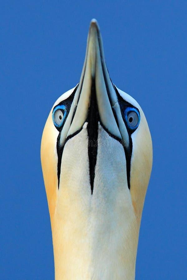 海鸟细节画象  北gannet,细节顶头画象海鸟,坐巢,与在t的深蓝海水 库存照片