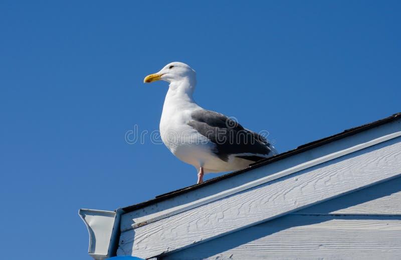 海鸥一张美丽的画象在旧金山,加利福尼亚港的  库存照片