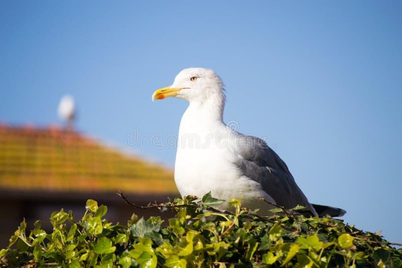 海鸥休息 库存图片