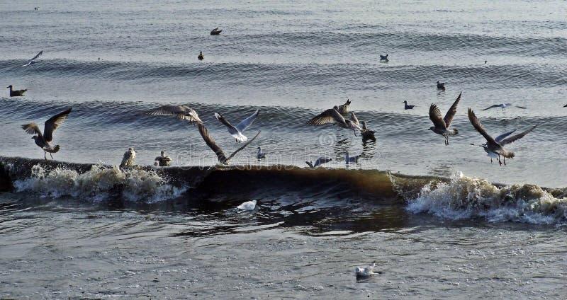 海鸥冲浪 库存图片