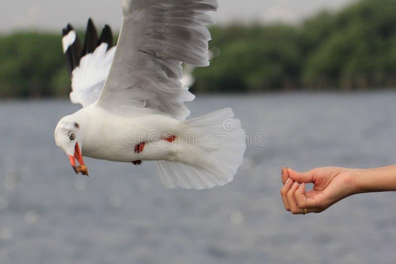 海鸥吃从妇女哺养的食物的鸟飞行 库存照片