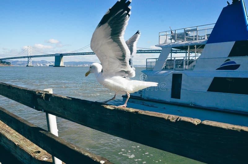 海鸥和海湾桥梁 免版税库存图片