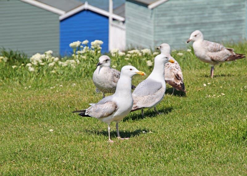 海鸥和海滩小屋 图库摄影