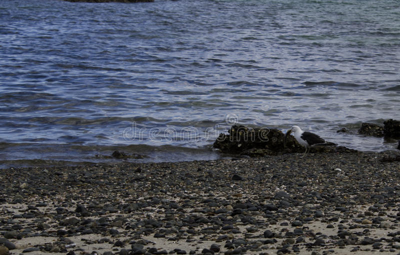 海鸥和鱼 库存图片