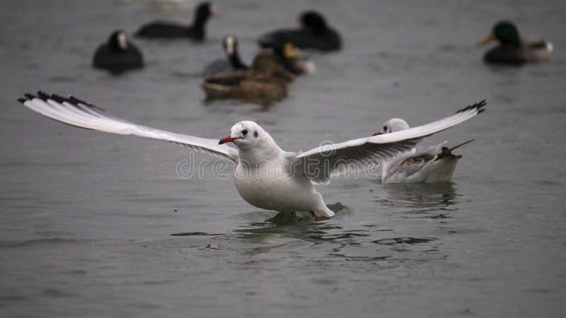 海鸥和鸭子在轮渡, Chornomorsk,乌克兰附近 免版税图库摄影