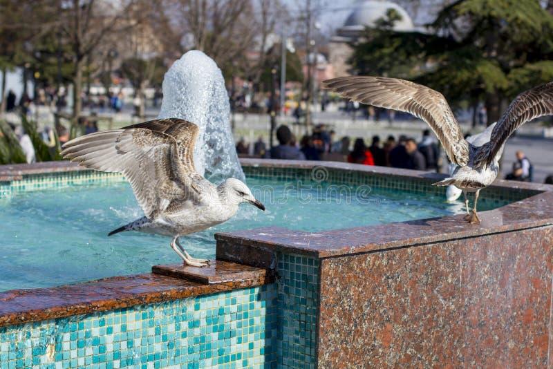 海鸥在喷泉取暖 一只海鸥的特写镜头照片在人中的在公园 图库摄影