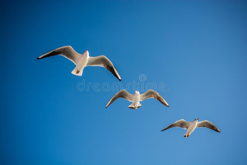 海鸥在天空飞行 库存图片