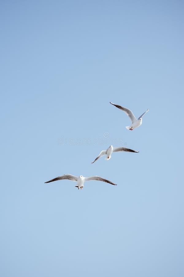海鸥在天空飞行 免版税图库摄影