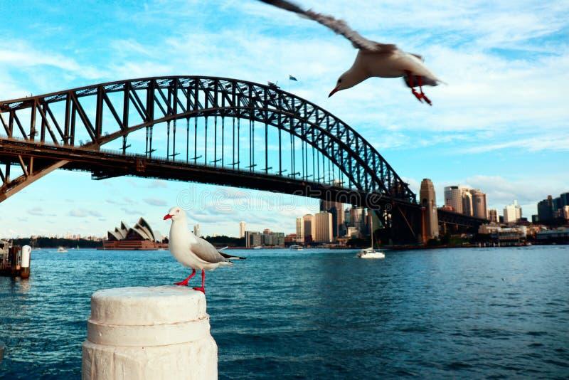 海鸥在悉尼港口 库存照片