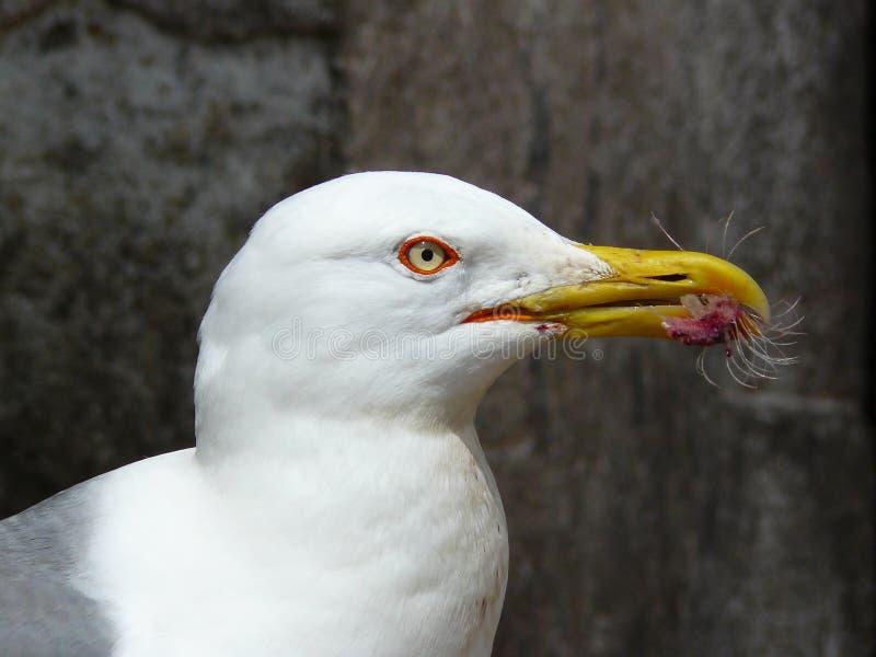 海鸥在摩洛哥 免版税库存照片