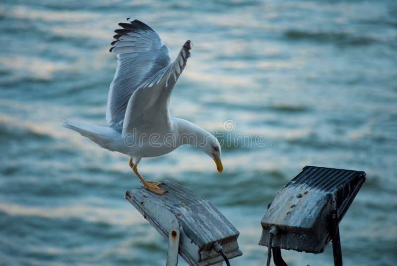 海鸥在波尔图 库存照片