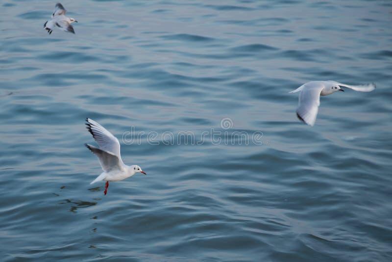 与与海的唯一海鸥飞行作为背景 海鸥在海上飞行,天空是蓝色和无云的 免版税图库摄影