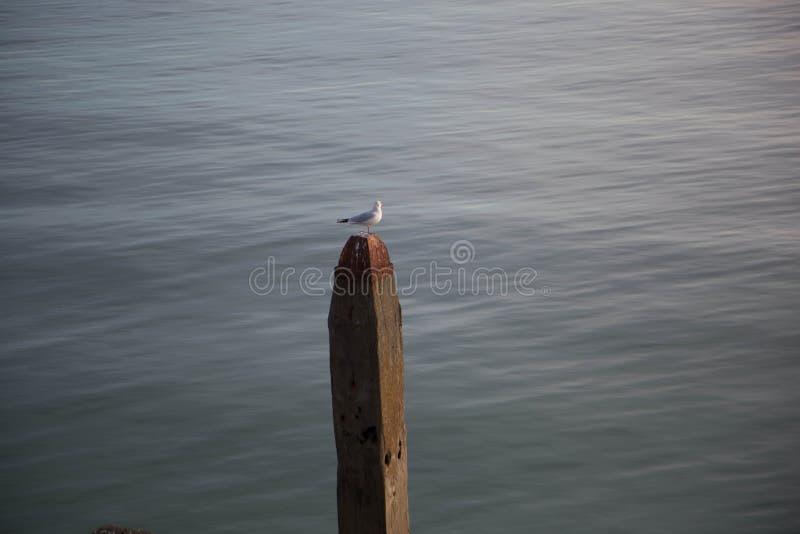 海鸥在海斯廷斯 库存照片
