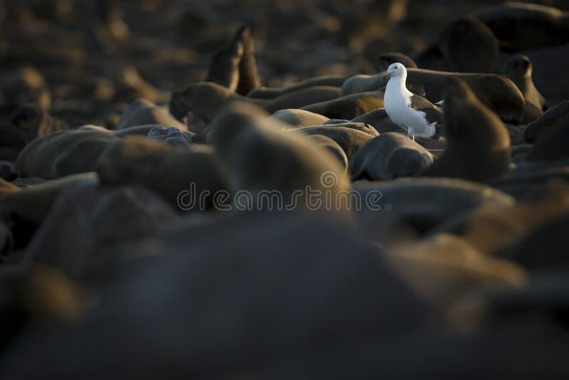 海鸥在海狮群 海角十字架,纳米比亚 免版税库存照片