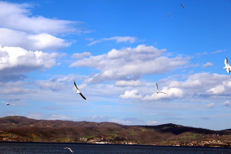 海鸥在海飞行 免版税库存照片