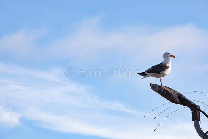 海鸥在脏灯柱上摆姿势的轮廓 免版税库存图片