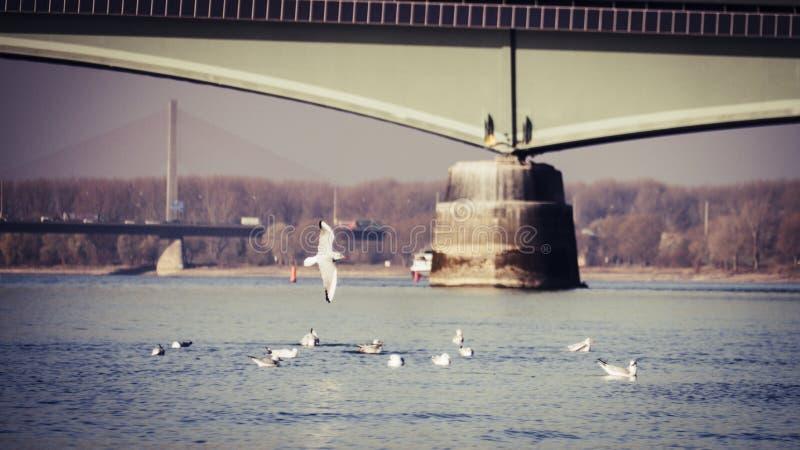 海鸥在莱茵河在一好天气在秋天与桥梁在背景中 免版税图库摄影