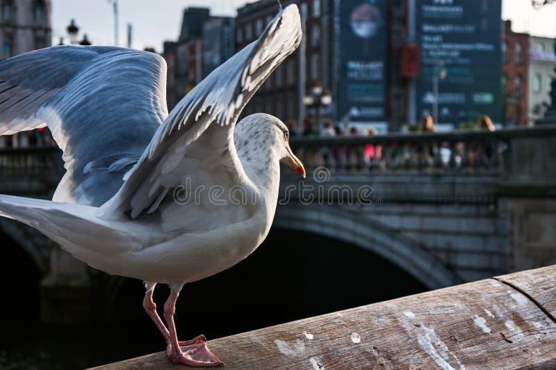 海鸥在都伯林 库存照片