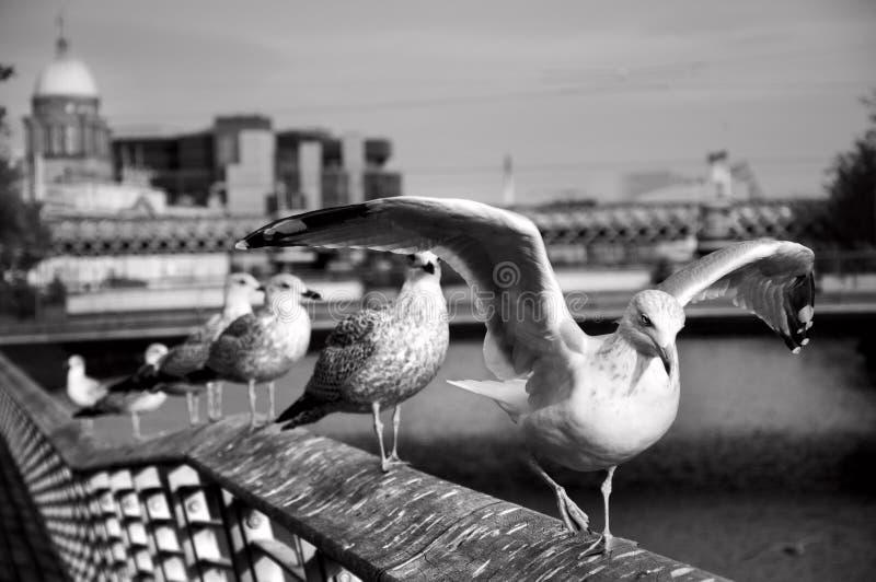海鸥在都伯林 免版税库存照片