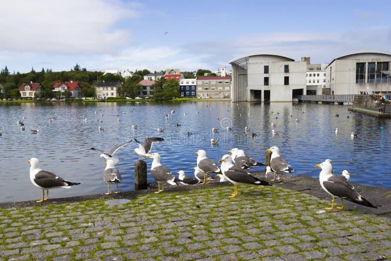 海鸥在雷克雅未克的中心临近池塘 免版税图库摄影