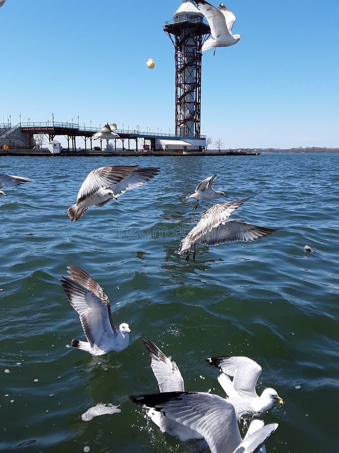 海鸥在飞行中在伊利湖 库存照片