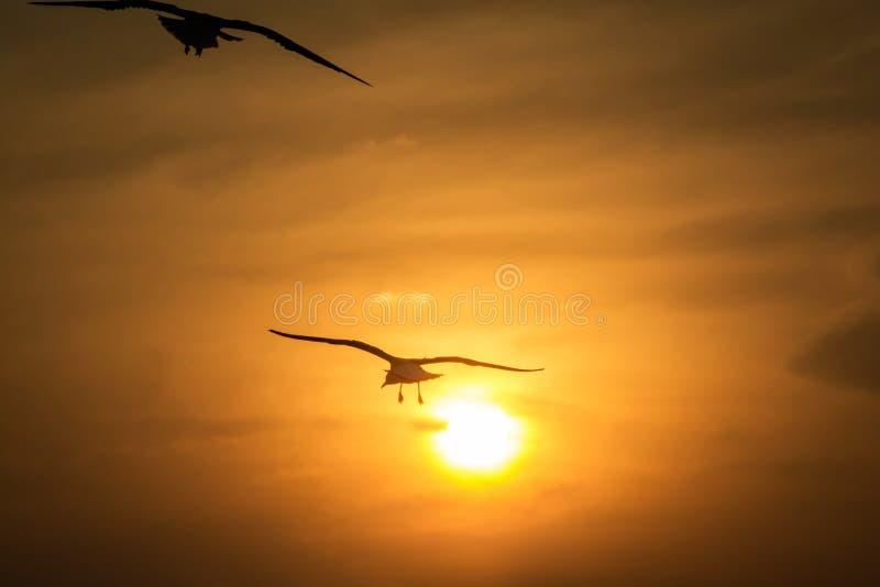 海鸥在飞行中现出轮廓反对日落 免版税图库摄影