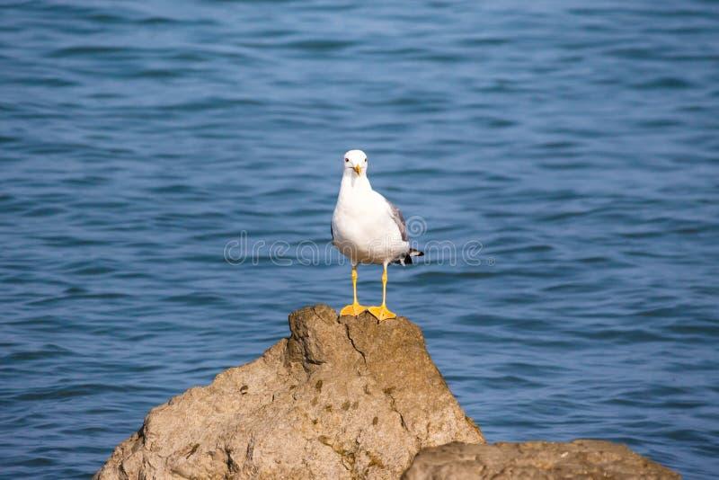海鸥在水中坐岩石 海背景在早晨 免版税库存照片