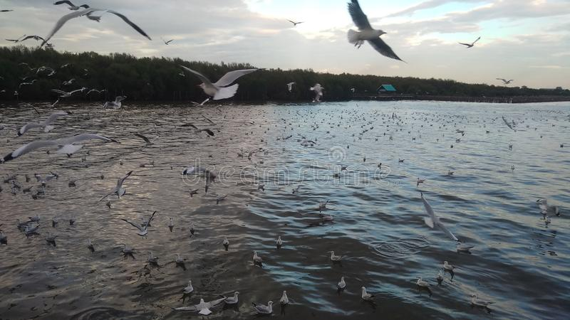 海鸥在Bangpu 库存照片
