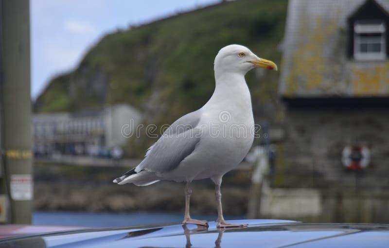 海鸥在Mevagissey 库存照片
