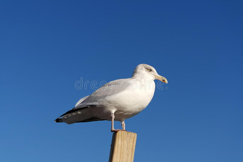 海鸥坐一块木头反对清楚的蓝天背景 免版税图库摄影