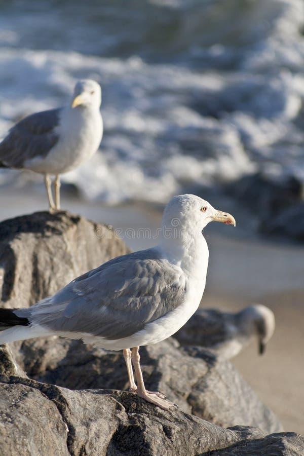 海鸥坐在海滩的岩石与大西洋 免版税库存照片
