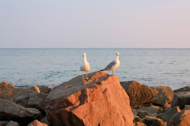海鸥坐岩石,海在背景中 库存照片