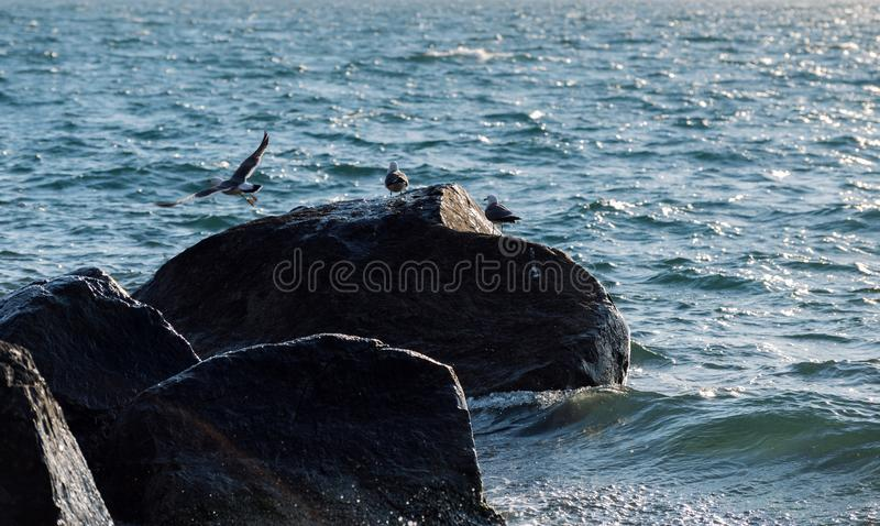 海鸥坐岩石 库存图片