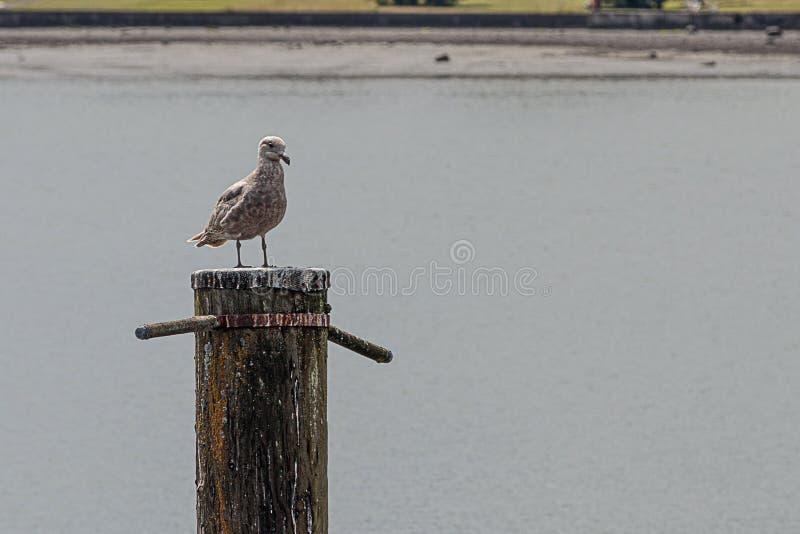海鸥坐木打桩在海岸线附近 免版税库存图片