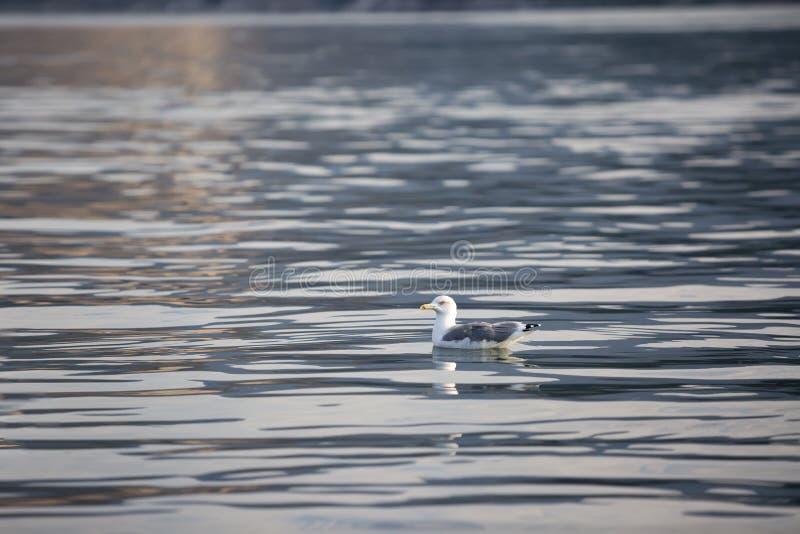 海鸥坐清楚的海水 免版税库存照片