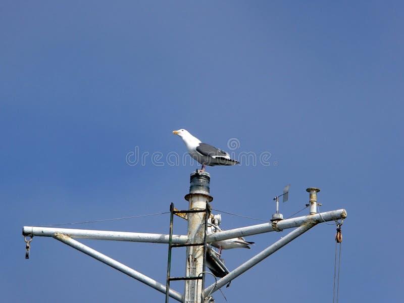 海鸥坐船帆柱 免版税图库摄影