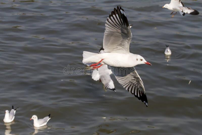 海鸥大和小飞行展示 免版税图库摄影