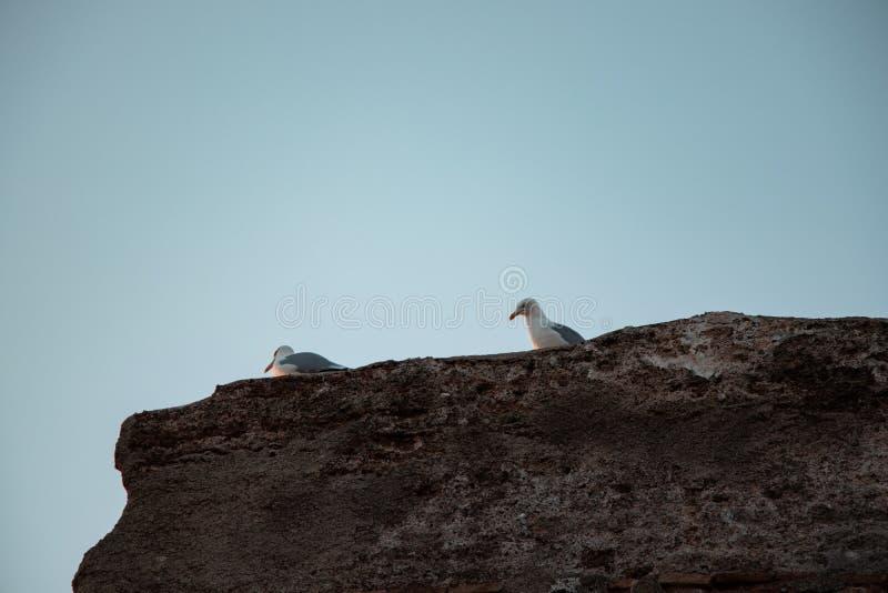 海鸥夫妇在岩石的 免版税库存照片