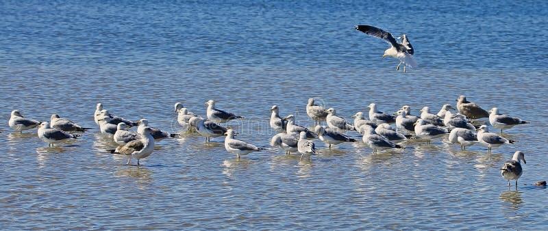 海鸥小组海洋加利福尼亚 免版税图库摄影