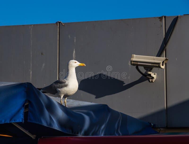 海鸥或监视器,眼睛是更加苍劲的?伊斯坦布尔,土耳其 免版税库存图片