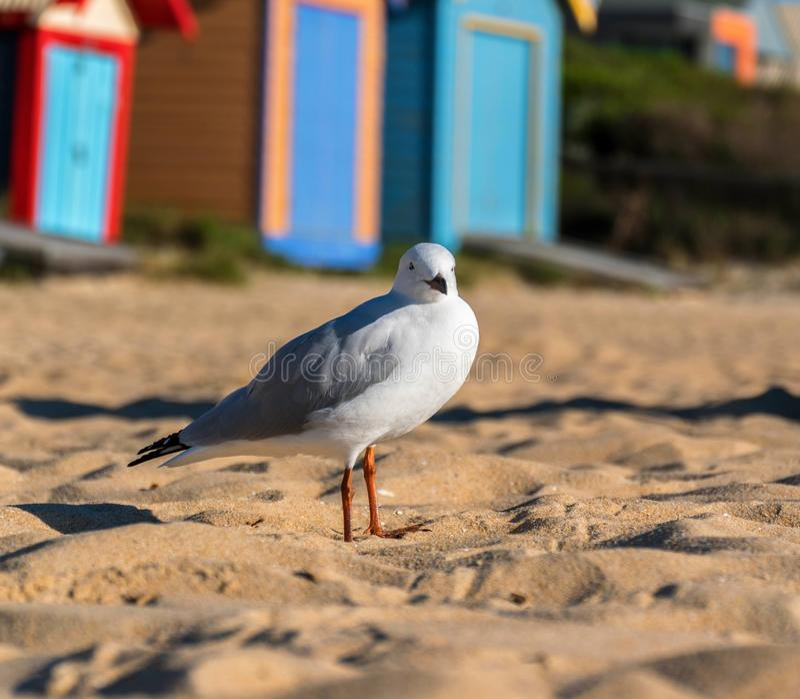 海鸥或银色鸥在海滩 免版税库存照片