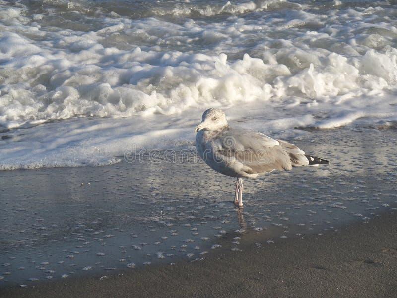海鸥波浪 库存图片