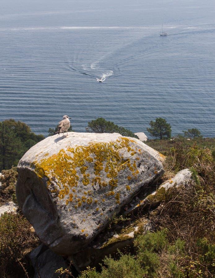 海鸥海凝视 库存照片