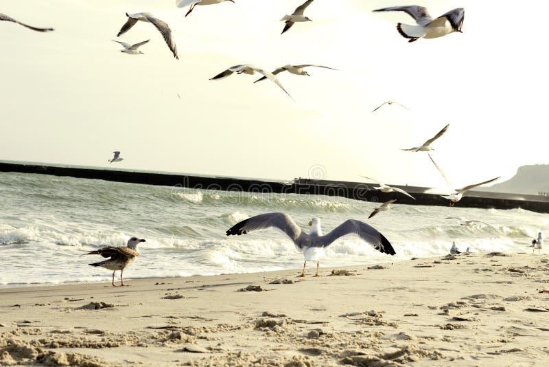 海鸥涂了它的翼 由海运的海鸥 免版税库存图片